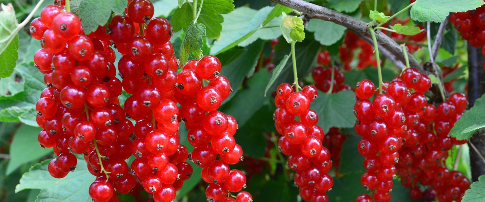 Fruits rouges co les fruits rouges de l 39 aisne for Coulis fruits rouges surgeles