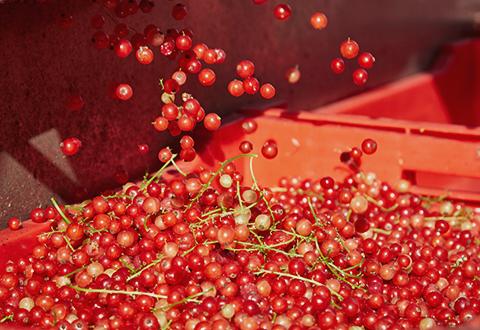 La transformation de nos fruits en purée et coulis permet à nos producteurs de valoriser les volumes qui ne correspondent pas aux critères du marché du frais.